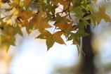 楓の葉(^_^) 其の六