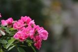 秋薔薇(^_^*)