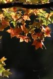 楓の葉(^_^) 其の十