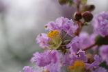 「サルスベリ」の花②