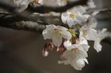 桜開花! (妻の作品)