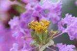 「サルスベリ」の花①