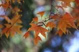 楓の葉(^_^) 其の三