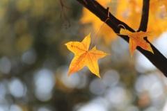 楓の葉(^_^) 其の十一