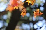 楓の葉(^_^) 其の二