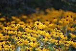 黄色い花園