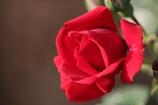 薔薇Vol.5