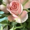 ピンクの妖精(妻の撮影)