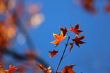 楓の葉(^_^)