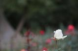 秋の薔薇 其の三
