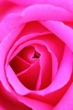 薔薇Vol.9