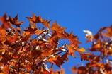 楓の葉(^_^) 其の五