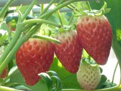 ミツゴのイチゴ