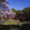 桜と旧型客車
