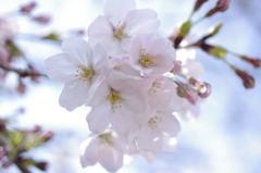 鶴舞公園の桜その1