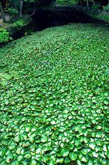 松江百景 睡蓮の池 楽山公園