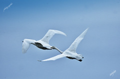 ninjinの松江百景 白鳥のいる風景13