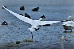 ninjinの松江百景 白鳥の離陸1