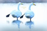 ninjinの松江百景 ツインズ白鳥1