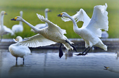 ninjinの松江百景 白鳥のいる風景6