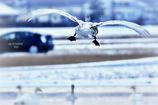 ninjinの松江百景 宍道湖 白鳥6