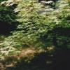 2 新緑のモミジ - 2012-06-01