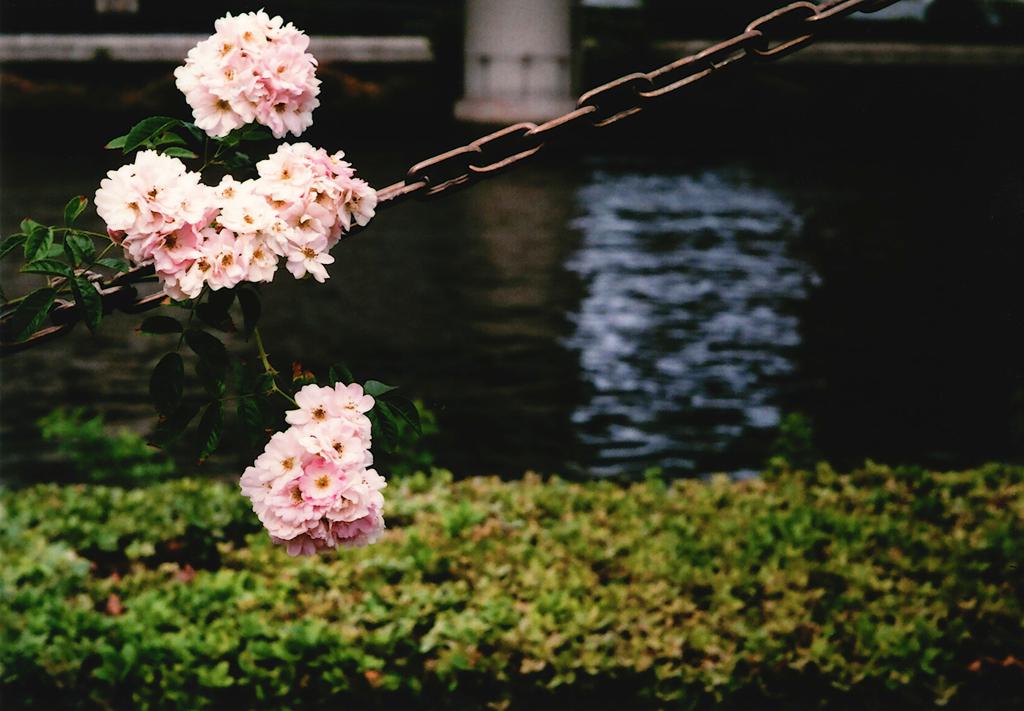 中之島バラ園-4