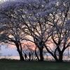 日暮れどき 桜