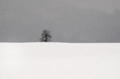 雪原の柿ノ木