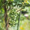 葡萄が実る庭