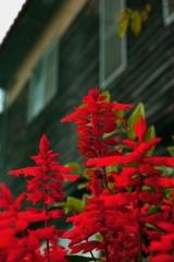 赤い花と木造校舎