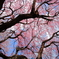 まだまだ桜!