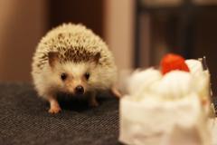 ケーキにおびえるハリネズミ