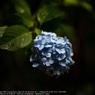 SONY DSLR-A900で撮影した植物(Purple flower☆)の写真(画像)