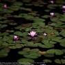 SONY DSLR-A900で撮影した植物(Water lily☆)の写真(画像)