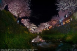 Row of cherry blossoms☆