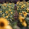 Sunflower road☆