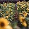 SONY DSLR-A900で撮影した(Sunflower road☆)の写真(画像)