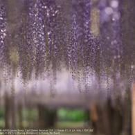 SONY DSLR-A900で撮影した植物(Wistaria trellis☆)の写真(画像)