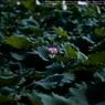 SONY DSLR-A900で撮影した植物(Lotus☆)の写真(画像)