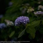 SONY DSLR-A900で撮影した(Hydrangea☆)の写真(画像)