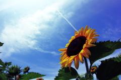 サンサンSunflower