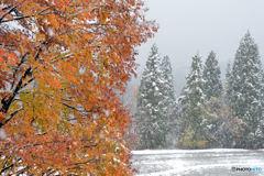ブナ林雪と里山