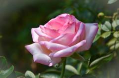 真夏の薔薇