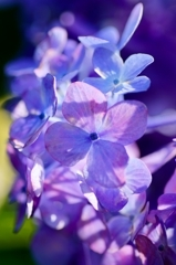 Shining hydrangea