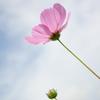 One flower, One bud