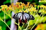 昭和村の蝶
