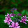 紫陽花 SIGMA DP2にて
