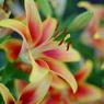 筥崎宮・花庭園の百合