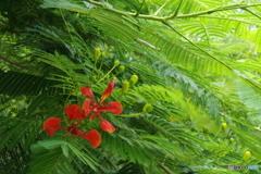 八重山の花 #4
